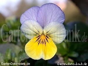 wildes stiefm tterchen viola tricolor schneiden pflege pflanzen bilder fotos garten. Black Bedroom Furniture Sets. Home Design Ideas