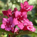 Weigelie (Weigela spec.)