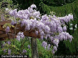 wisteria glyzine chinesischer blauregen wisteria sinensis syn w chinensis glycine sinensis. Black Bedroom Furniture Sets. Home Design Ideas