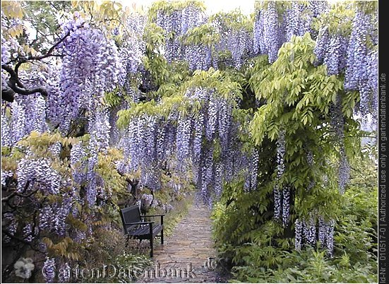 bild wisteria glyzine chinesischer blauregen wisteria. Black Bedroom Furniture Sets. Home Design Ideas