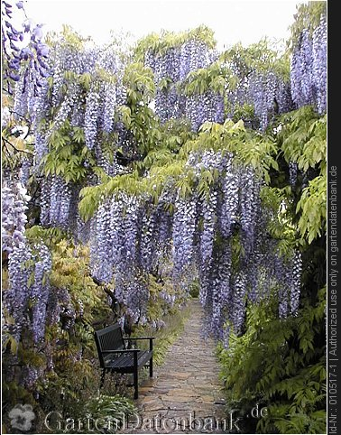 bild wisteria glyzine chinesischer blauregen wisteria sinensis foto an pergola laubengang. Black Bedroom Furniture Sets. Home Design Ideas