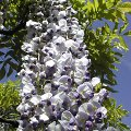 glyzine japanischer blauregen edelblauregen wisteria floribunda schneiden pflege pflanzen. Black Bedroom Furniture Sets. Home Design Ideas
