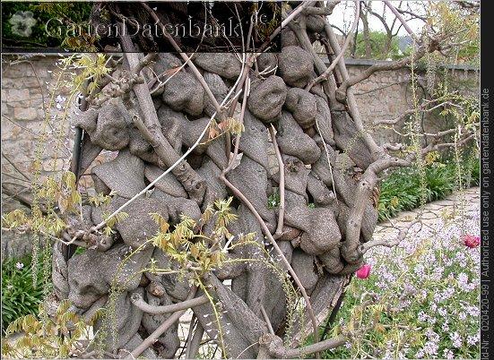 bild glyzine japanischer blauregen wei er edelblauregen 39 macrobotrys 39 39 longissima alba. Black Bedroom Furniture Sets. Home Design Ideas