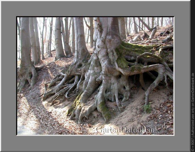 Bäume Umpflanzen bäume umpflanzen bis zu welchem alter größe bilder fotos