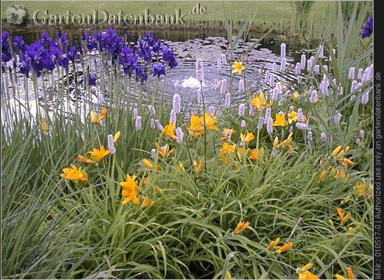 bild weinheim hermannshof sommer foto blaue und gelbe lilien und kn terich an kleinem teich. Black Bedroom Furniture Sets. Home Design Ideas