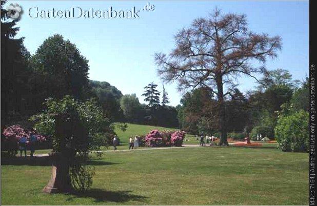 Ginkgobaum ginkgo biloba wuchsform unbelaubt schlosspark weinheim