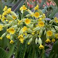 Primula veris April
