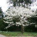japanische zierkirsche prunus serrulata schneiden pflege pflanzen bilder fotos garten. Black Bedroom Furniture Sets. Home Design Ideas