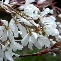 Amelanchier laevis Wildobst