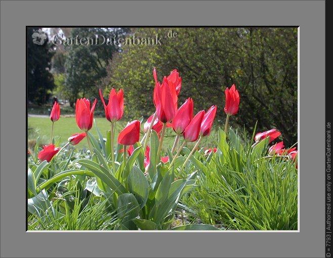 wildtulpen k nigin der tulpen bilder fotos tulipa greigii bild mit infos. Black Bedroom Furniture Sets. Home Design Ideas